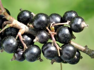 Black Currant - Ribes NIgrum